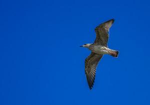 Seagull416129_640